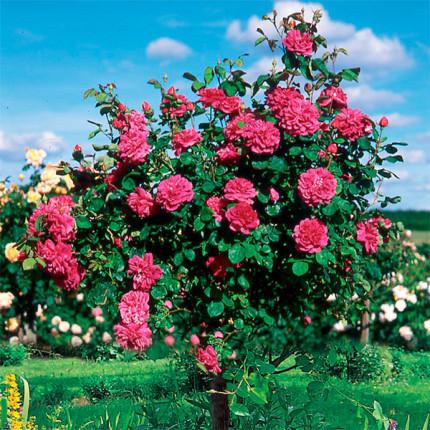 Троянда штамбова Кінг Артур 1 прививка