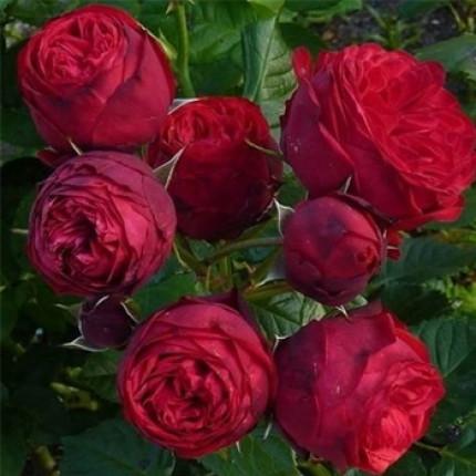 Троянда англійська Піано клас А