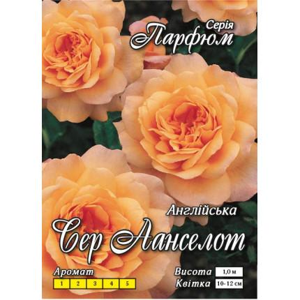Троянда англійська Сер Ланселот клас АА
