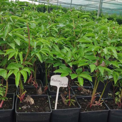 Пион травянистый Madame Calot (контейнер 2.5л)