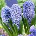 Гиацинт Blue Giant 14/15 - оптом