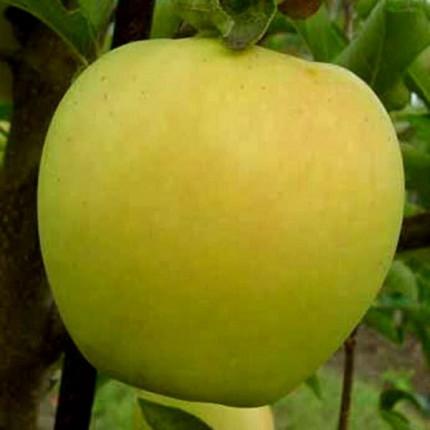 Яблуня Золоте Чудове 1 клас
