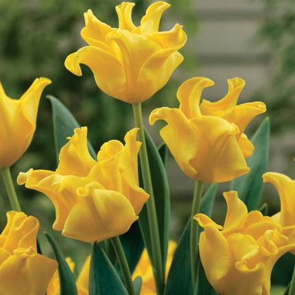 Тюльпан Волнистый Yellow Crown 10/11