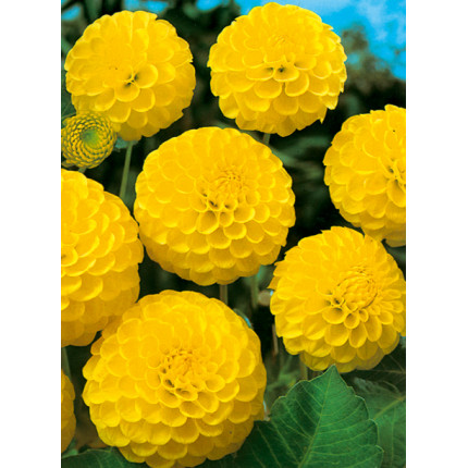 Жоржина помпонна Deepest Yellow