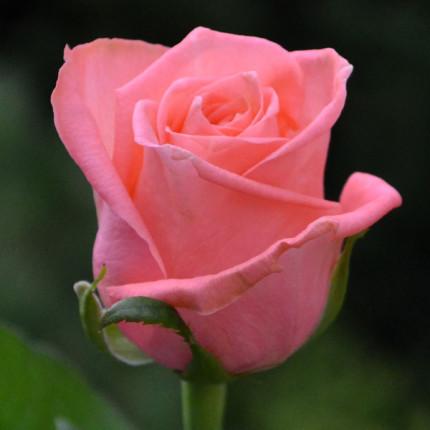 Троянда Каріна Ч/Г клас А