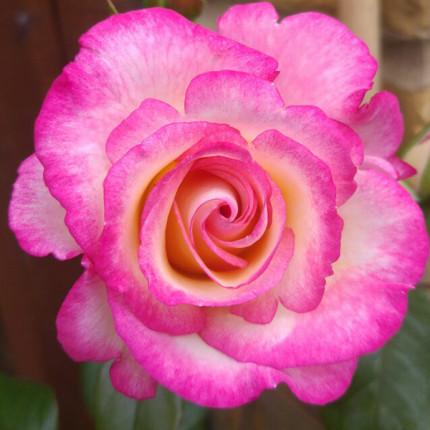 Роза штамбовая Хендель (Handel) 2 прививки