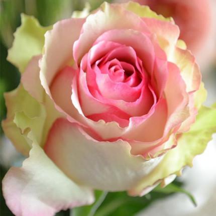 Роза штамбова Дансинг Квин 2 прививки