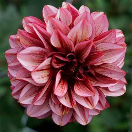 Жоржина з гігантською квіткою Seniors Hope
