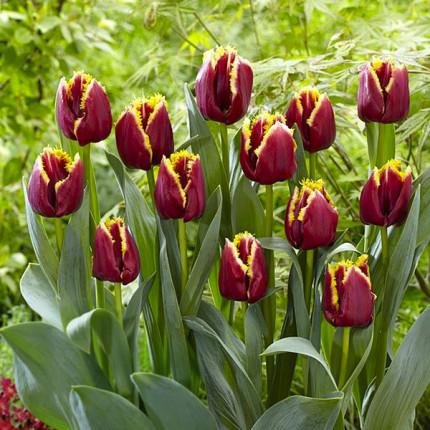 Тюльпан бахромчатый Mercure 12/+