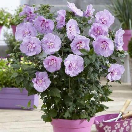 Гибискус махровый  Lavender Chiffon (контейнер 0.5л)