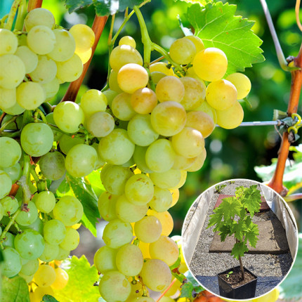 Виноград Андрийчик (контейнер)
