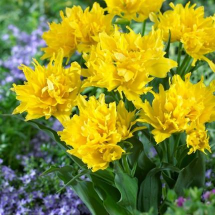 Тюльпан Лилиевидный Yellow Spider 10/11