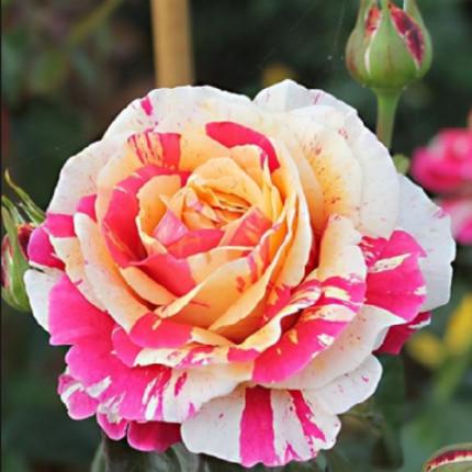 Роза плетистая Пёстрая класс А