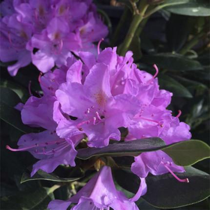 Рододендрон Roseum Elegans (контейнер)