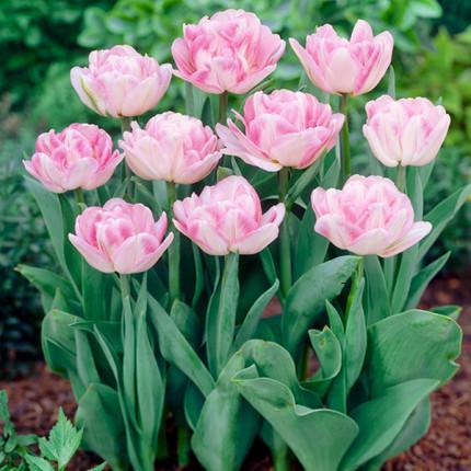 Тюльпан махровий Foxtrot 12/+