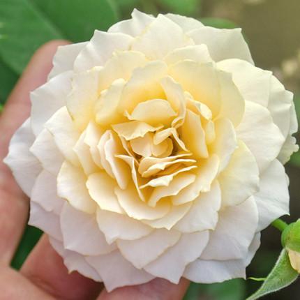 Роза штамбовая Эскалибур 2 прививки