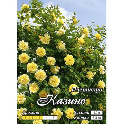 Роза плетистая Казино класс А