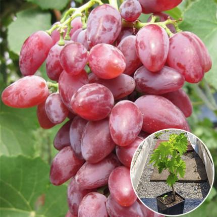 Виноград Клеопатра (контейнер 2л)