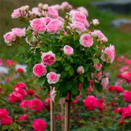 Троянда Шаріка - Асма 1 прививка