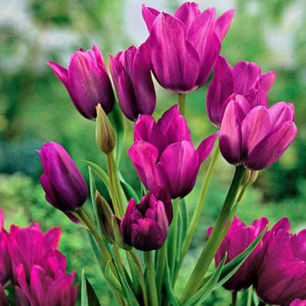 Тюльпан Многоцветковый Purple Bouquet 10/11