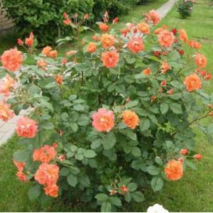 Розы Парковые в контейнере (горшок)