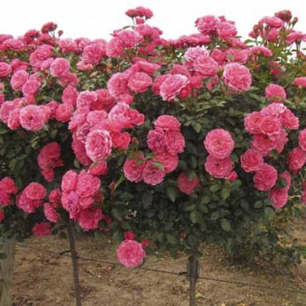 Роза штамбовая Tantau Акапелла (Acapella) 2 прививки