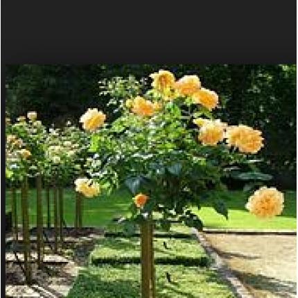 Троянда штамбова Версілія 1 прививка