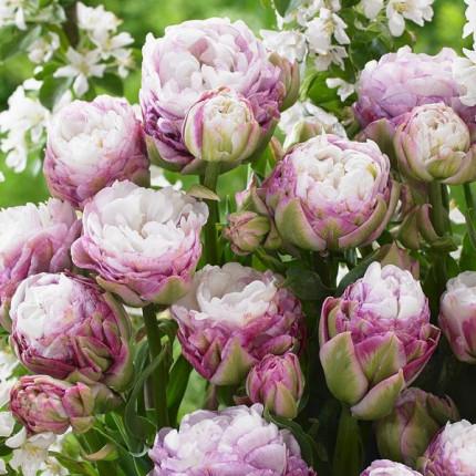 Тюльпан Махровый + Многоцветковый Peggy Wonder 11/12