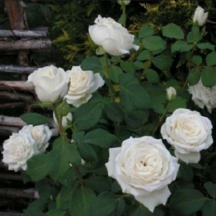Троянда паркова Анастасія клас А