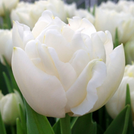 Тюльпан махровий Northcap 12/+
