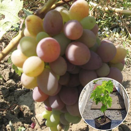Виноград Граф Монте Кристо (контейнер)