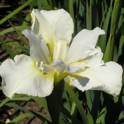 Ирис sibirica White Swirl (контейнер 1л)