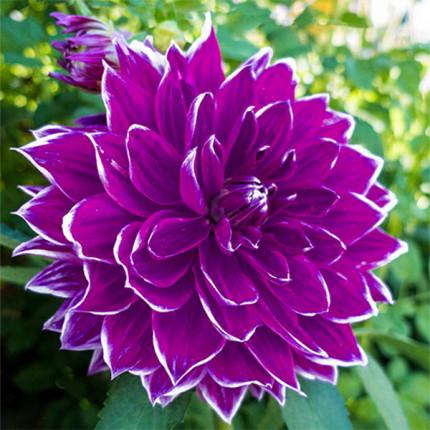 Георгина с гигантским цветком Pramie 18