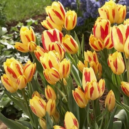 Тюльпан Многоцветковый Florette 10/11
