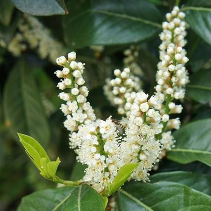 Лавровишня лекарственная Rotundifolia (контейнер 0.5л)