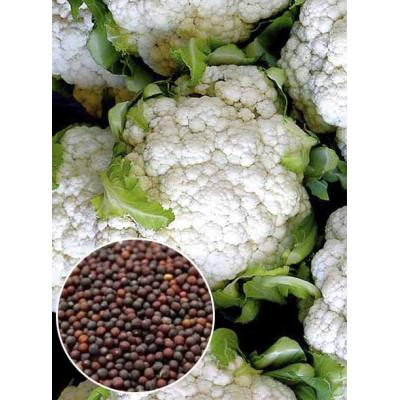 Капуста цвітна Піонер вагова (насіння) 1 кг - оптом