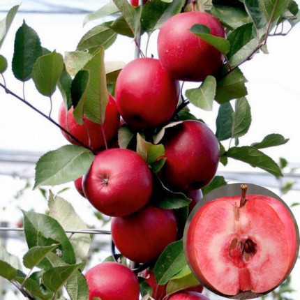 Яблоня Сирена 1 класс