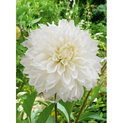 Георгина с гигантским цветком Fleurel
