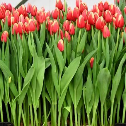 Тюльпан триумф Leen van der Mark 12/+
