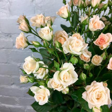 Троянда cпрей Cream Gracia клас А