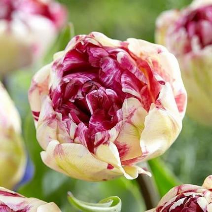 Тюльпан Махровый + Многоцветковый Jonquieres 11/12