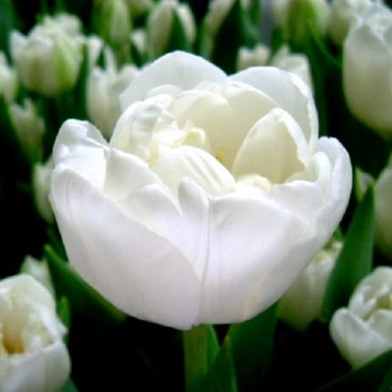 Тюльпан махровый White Heart 12/+