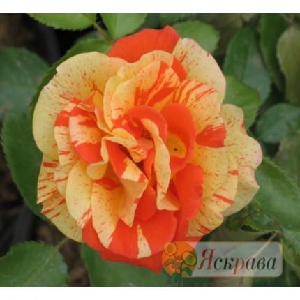 Троянда паркова  Пападжена (контейнер)