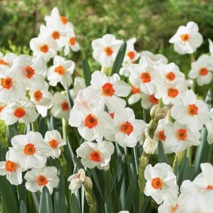 Нарцисс многоцветковый Geranium 10/12