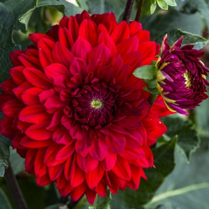 Жоржини з гігантською квіткою