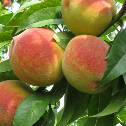 Персик Желтоплодный ранний  1 класс