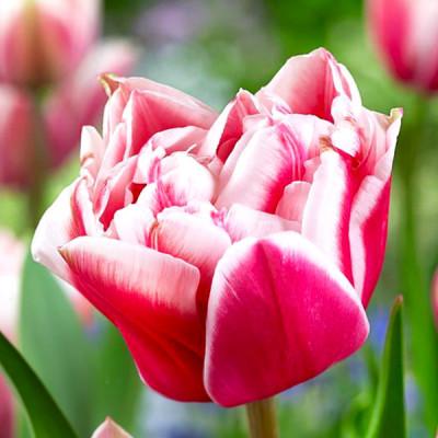 Тюльпан Махровый Chandelier 10/11 - оптом