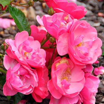 Троянда флорібунда Анжела клас АА