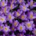 Крокус ботанічний Barr's Purple 5/7 - оптом