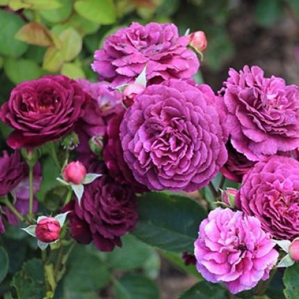 Троянда флорібунда Нью Ейдж клас А